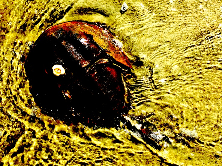 horseshoe crab top view.jpg